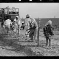 Mexican women arriving and unloading truck at spinach field, La Pryor, Texas, March 1939